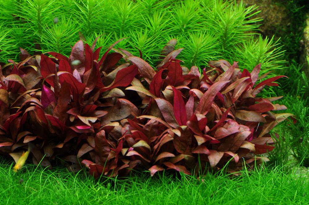 Описание аквариумных растений. Альтернантера Рейнека