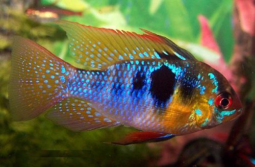 Описание аквариумных рыбок. Апистограмма рамирези. Содержание и разведение