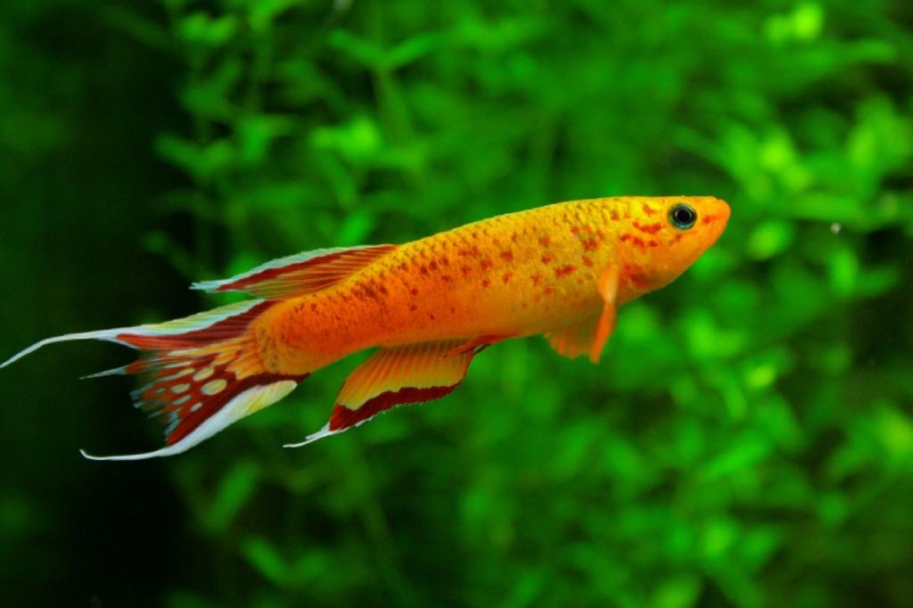 Описание аквариумных рыбок. Афиосемион южный