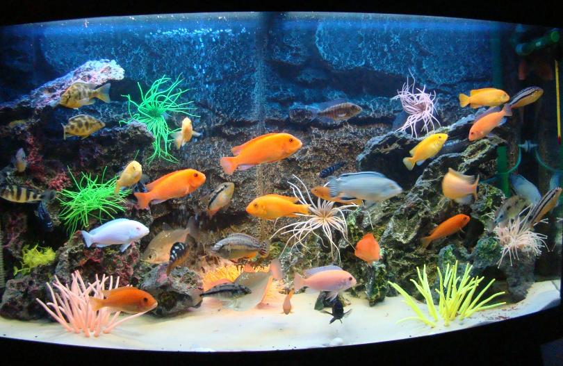 Каких рыбок можно завести в аквариуме новичку 2