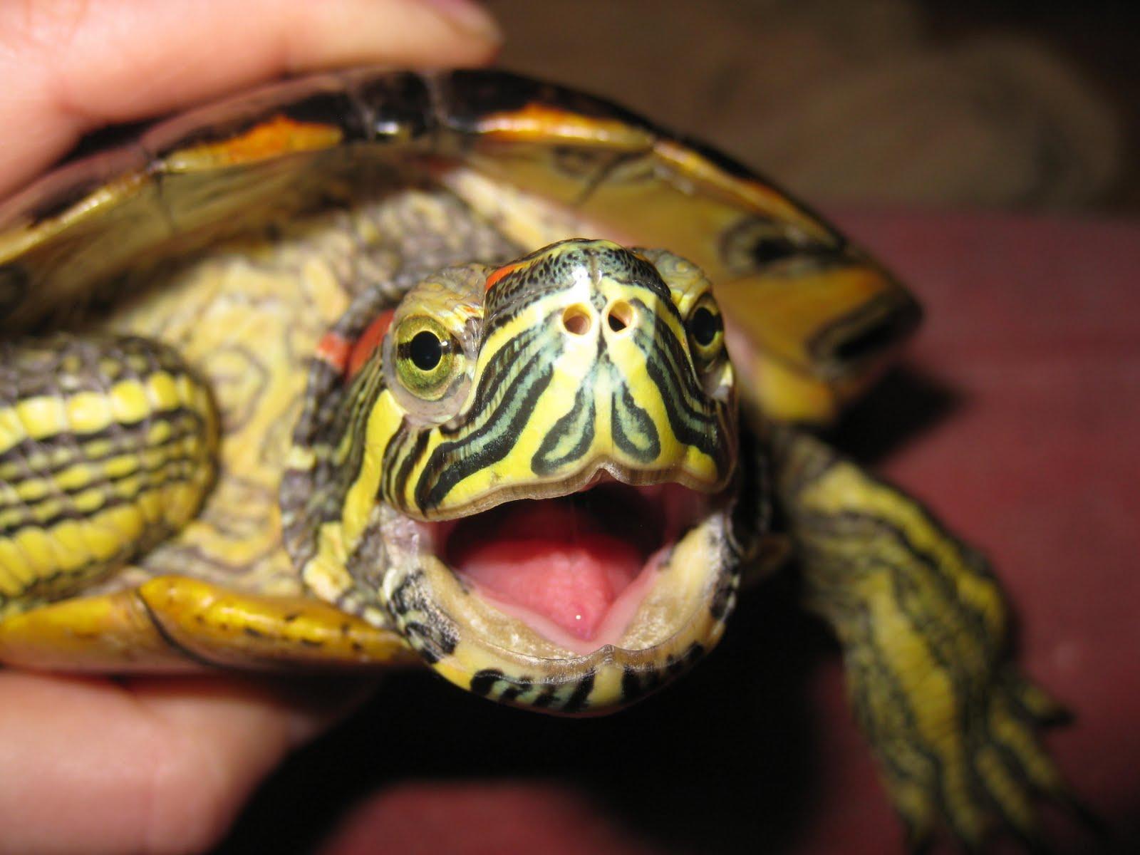 Болезни красноухих черепах. Симптомы и лечение