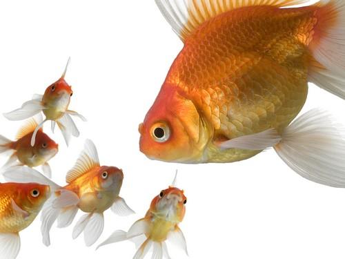 Виды золотых аквариумных рыбок