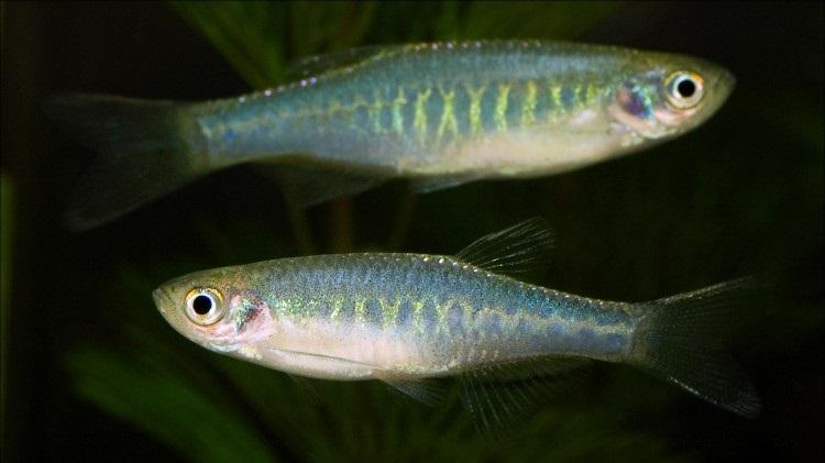 Рыбка Данио. Как отличить самца от самки