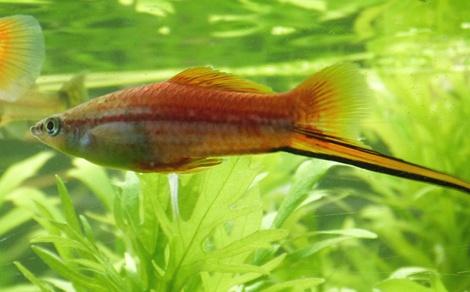 Рыбки меченосцы содержание и уход