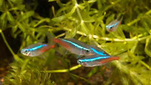 Рыбки неоны в аквариуме. Содержание и уход