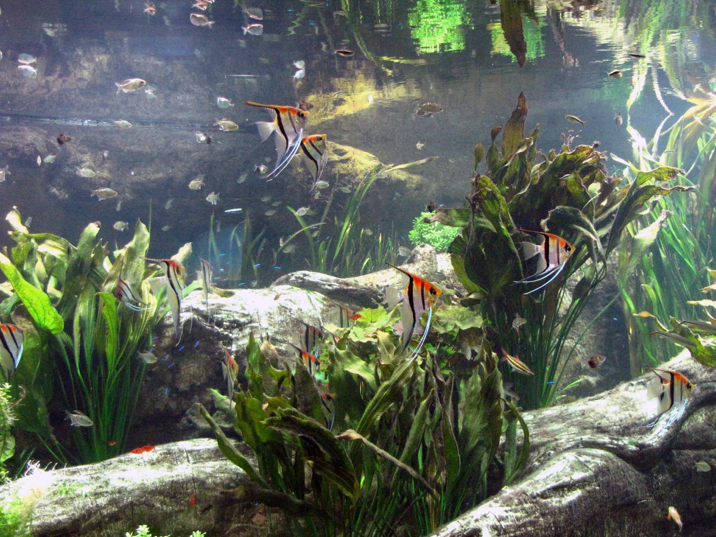 Скалярии. Совместимость с другими рыбками