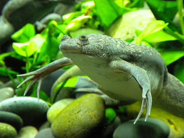 Шпорцевая лягушка в аквариуме. Ее содержание и размножение