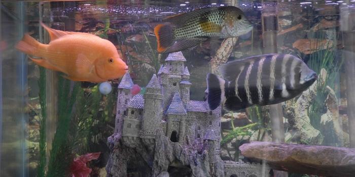 Американские цихлиды описание, содержание в аквариуме, кормление, совместимость с другими рыбками