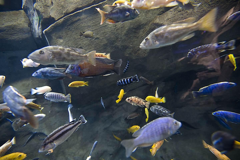 Африканские цихлиды описание, содержание в аквариуме, кормление, совместимость с другими рыбками