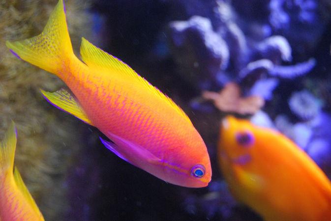 Болезни аквариумных рыбок. Бранхиомикоз лечение