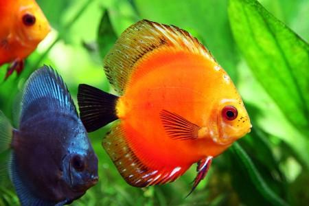 Болезни аквариумных рыбок. Внешнии признаки и лечение