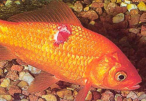 Болезни аквариумных рыбок. Лепидортоз симптомы и лечение
