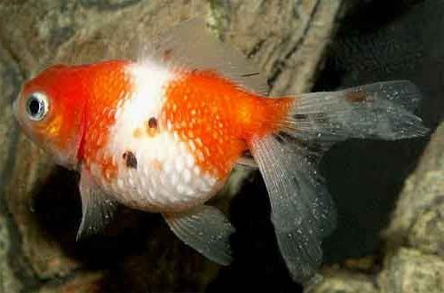 Болезни аквариумных рыбок. Плистофороз симптомы и лечение
