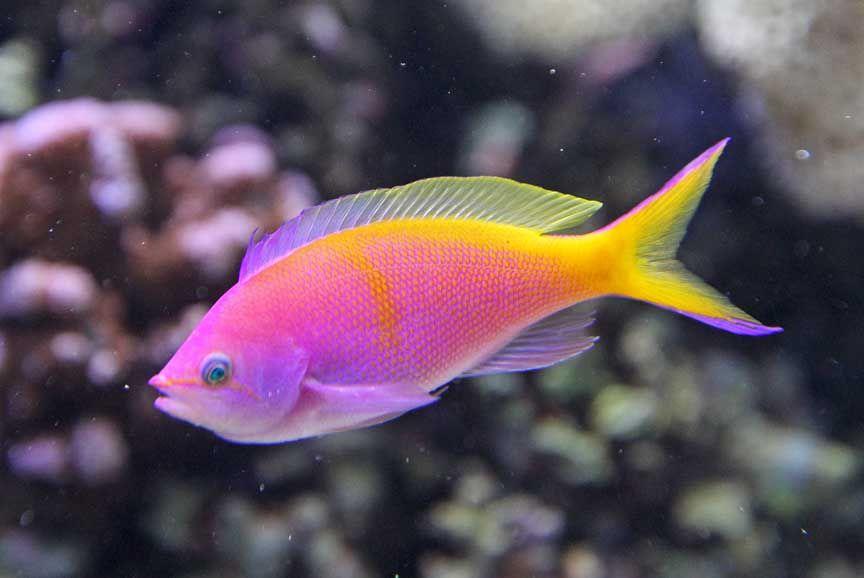 Микобактериоз у рыб. Как лечить