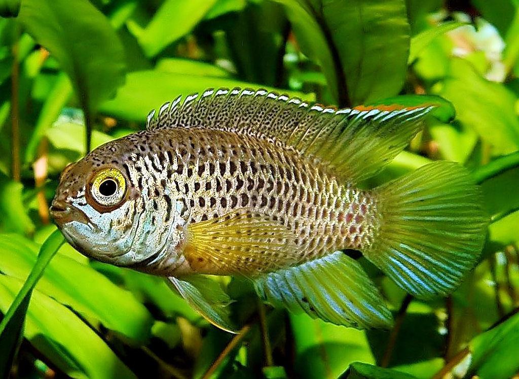Описание аквариумных рыбок. Наннакара уход, содержание, совместимость с другими рыбками
