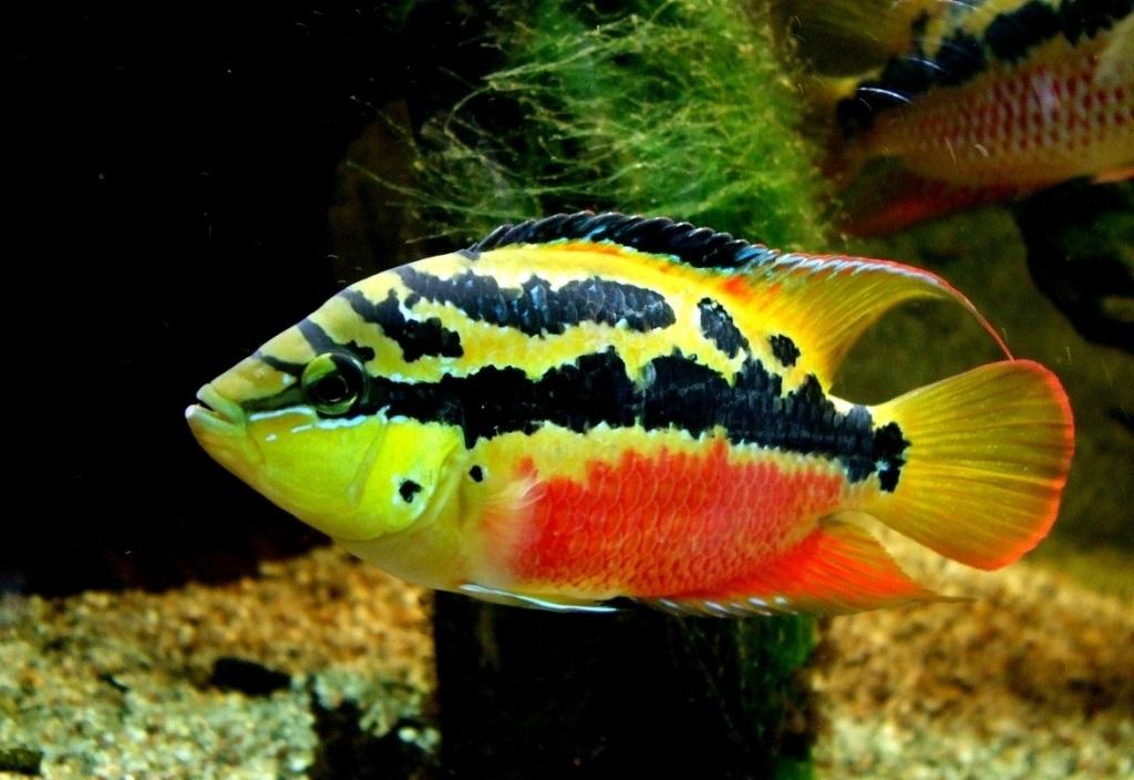 Описание аквариумных рыбок. Цихлазома сальвини содержание и разведение