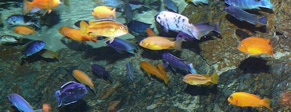Малавийские цихлиды описание, содержание в аквариуме, кормление, совместимость с другими рыбками