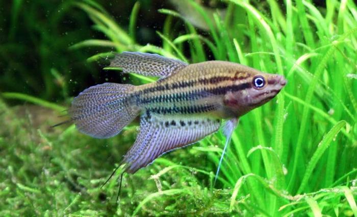 Описание аквариумных рыбок. Ворчащий гурами