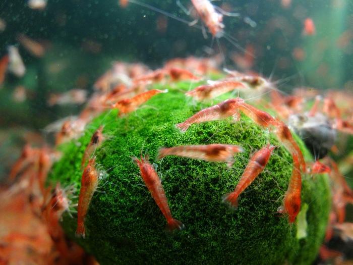Аквариумные креветки виды уход размножение