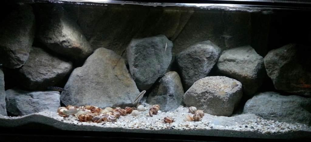 Как использовать для оформления ракушки в аквариуме
