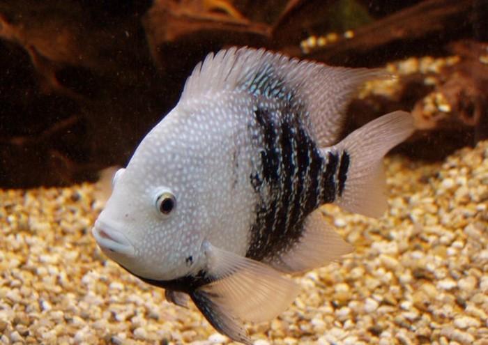 Описание аквариумных рыбок. Бриллиантовая цихлазома