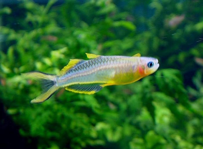 Описание аквариумных рыбок. Попондетта Фурката