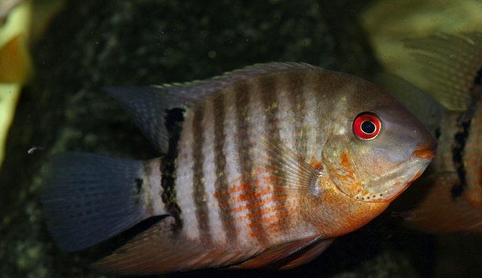 Описание аквариумных рыбок. Цихлазома северум