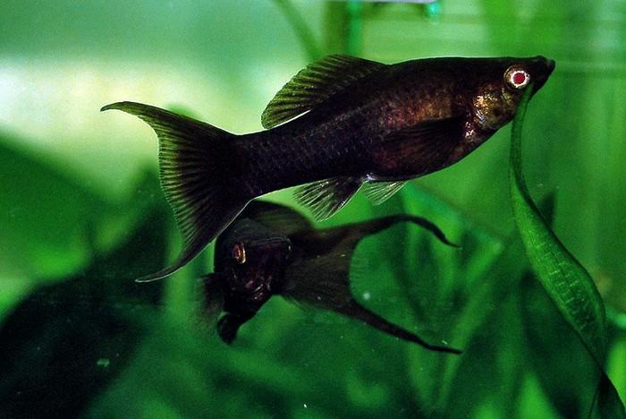 Черные аквариумные рыбки