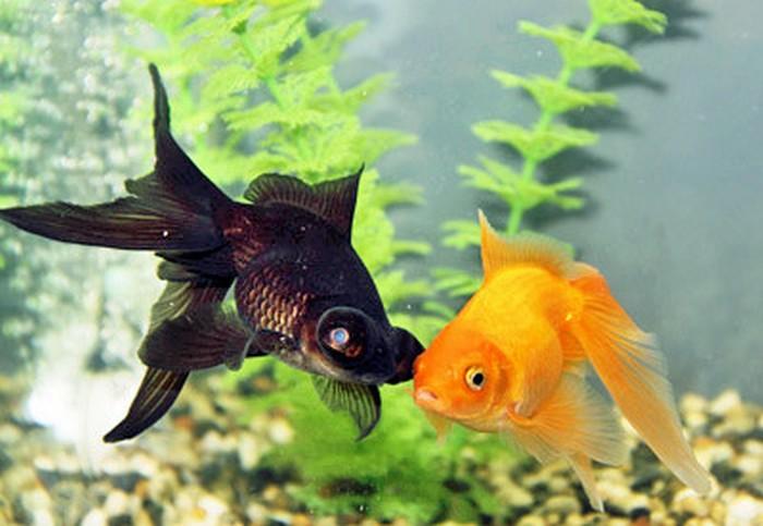 Черные золотые рыбки