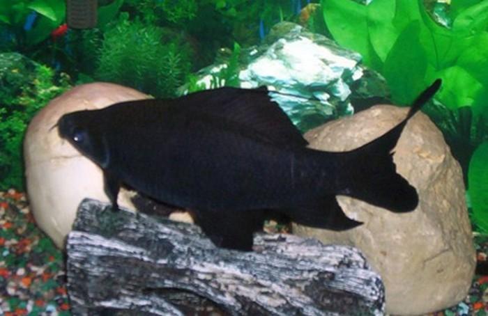 черный лабео