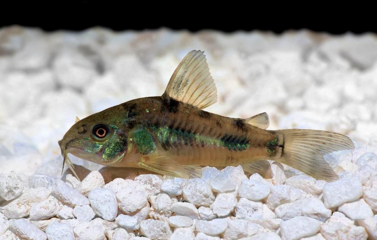 Донные аквариумные рыбки