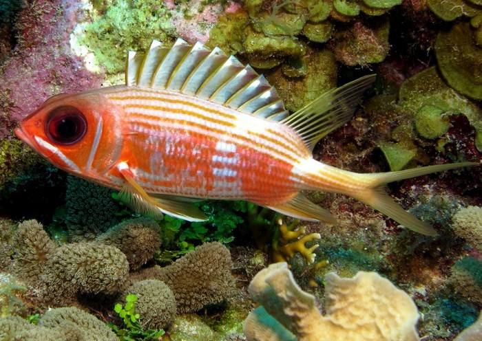 Описание аквариумных рыбок. Рыба-белка
