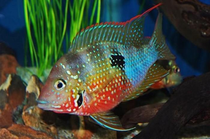 Описание аквариумных рыбок. Цихлазома элиота