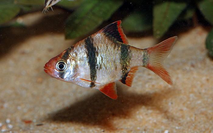 Барбус суматранский описание, содержание и размножение