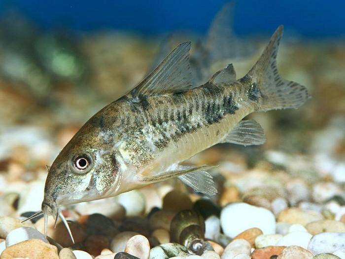 Описание аквариумных рыбок. Крапчатый сомик
