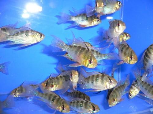 Чем кормить мальков аквариумных рыбок
