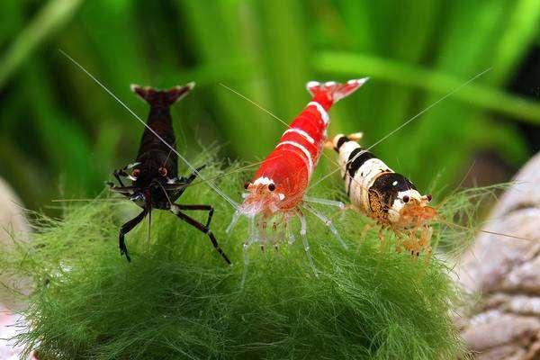 Креветки пресноводные. Содержание креветок в аквариуме