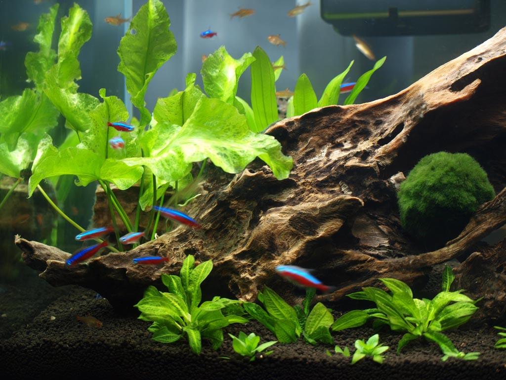 Описание аквариумных растений. Кубышка желтая
