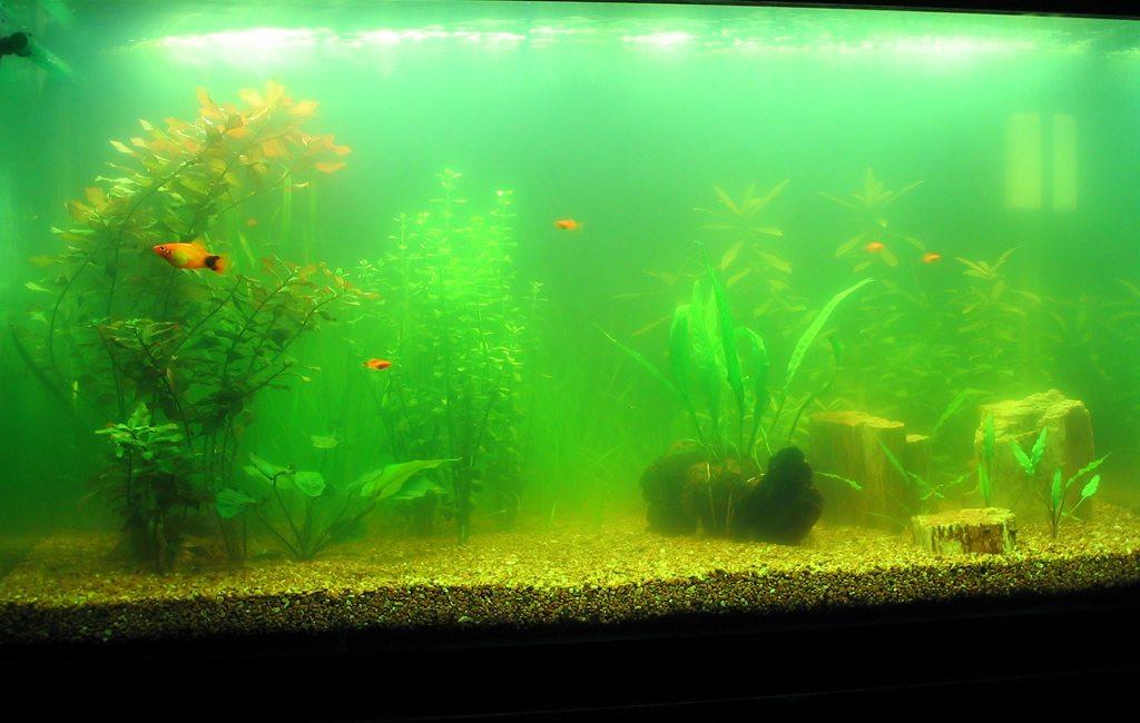 Цветение в аквариуме. Как предотвратить и как бороться