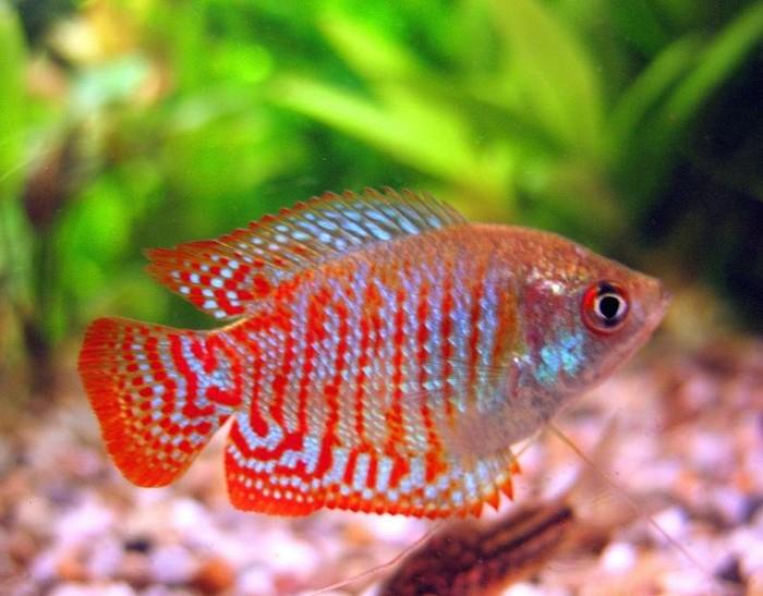 Аквариумная рыбка лялиус уход и содержание, разведение, совместимость