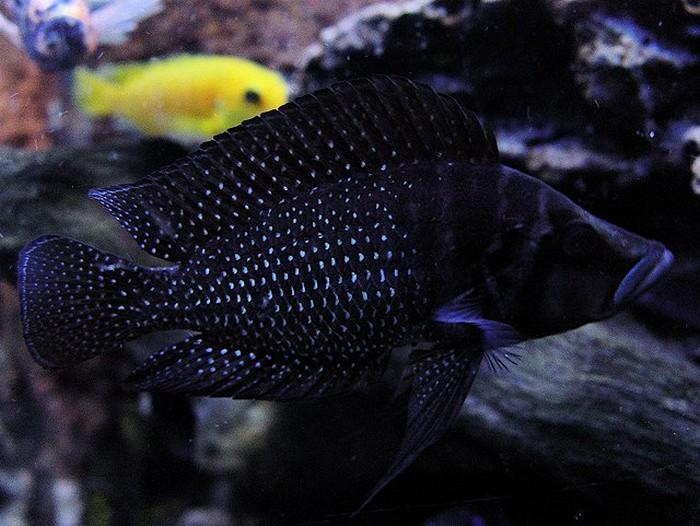 черные цихлиды