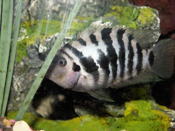 Описание аквариумных рыбок. Цихлазома чернополосая.