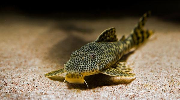 донные аквариумные рыбки 2