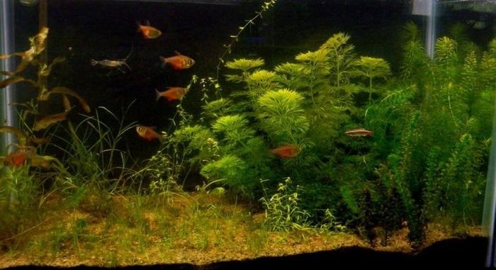 Описание аквариумных растений. Элодея канадская свойства, содержание, размножение