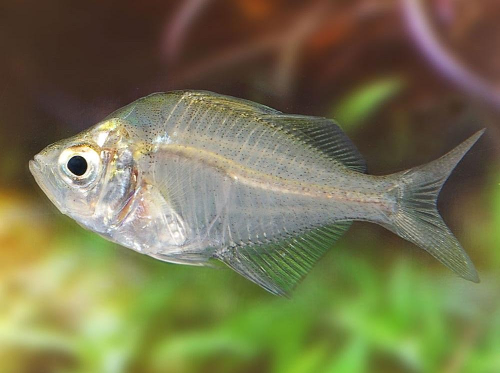 Описание аквариумных рыбок. Стеклянный окунь